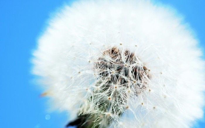 Images of Dandelion as a white flower