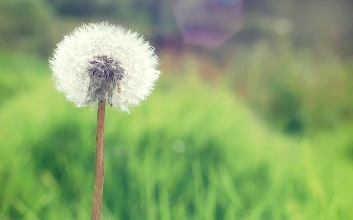 Images of Dandelion on-the-country