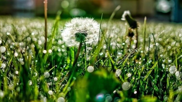 Images of Dandelion in the Rain