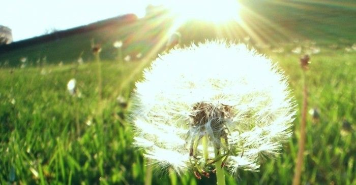 Images of Dandelion beautifully-lit