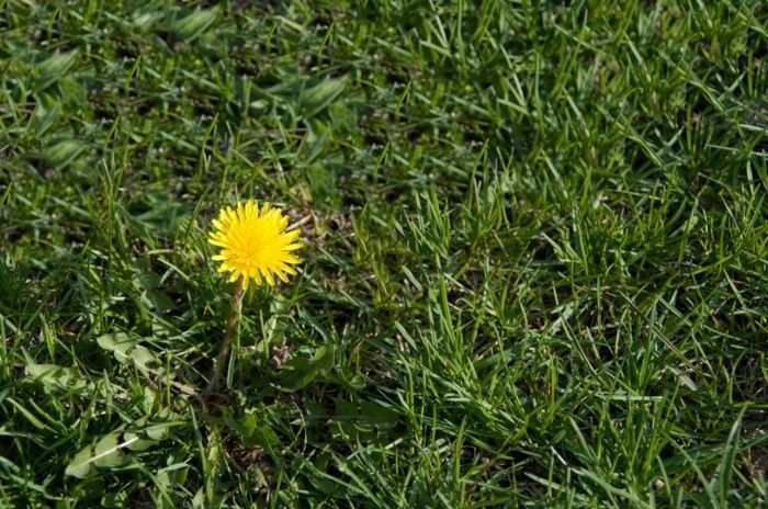 Ordinary Dandelion lonely-can-also-growing