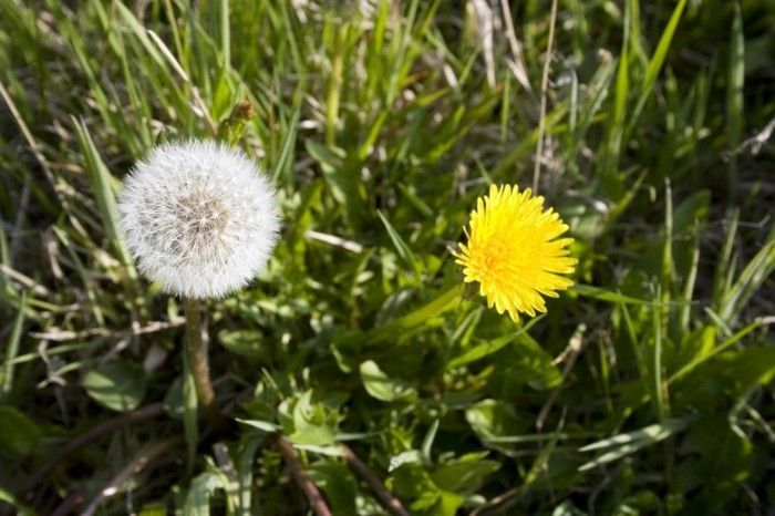Usually Dandelion-in of both forms