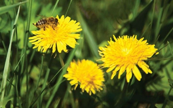 Ordinary Dandelion with-a-bee