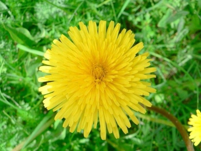 Dandelions-can-you-and-cook