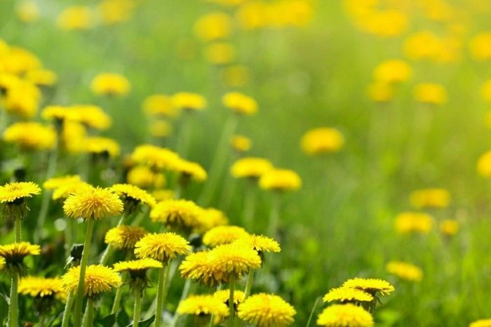 Dandelions-are-also-very-special