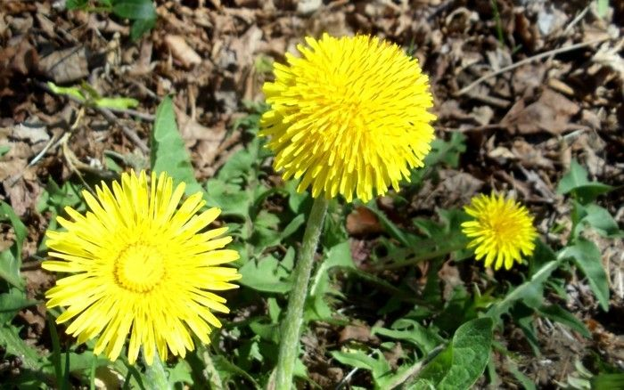 Dandelions-are-very-aesthetic flowers