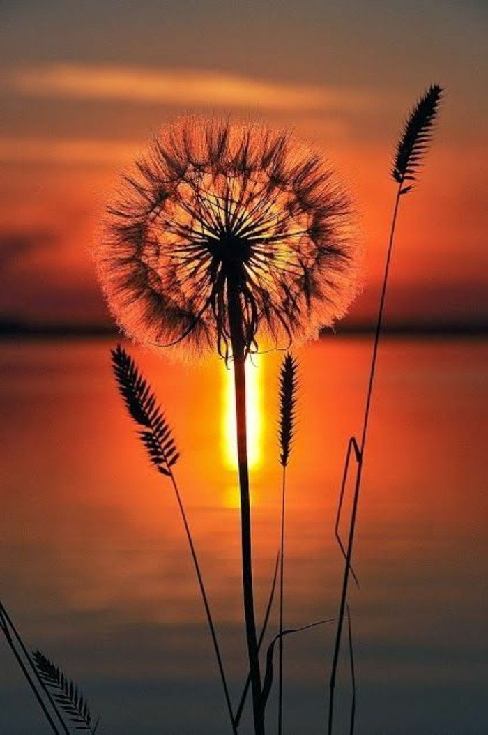 Dandelion Picture at-a-sunset