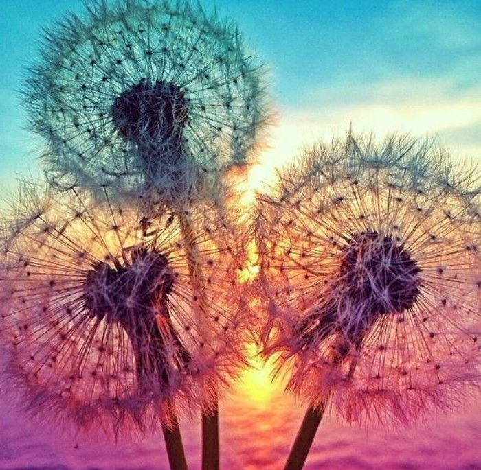 Dandelion Picture with-many-colors