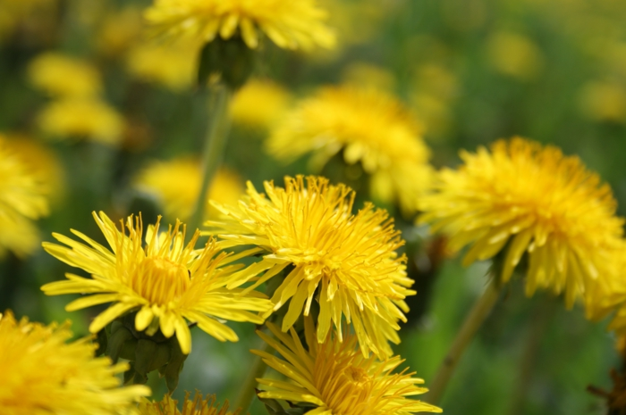 Dandelion images-so-a-beautiful-flower