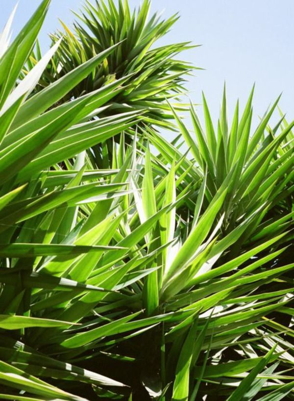 Yucca palm trees