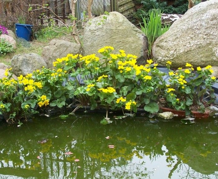 pond-plant-great-plant-to-the-pond
