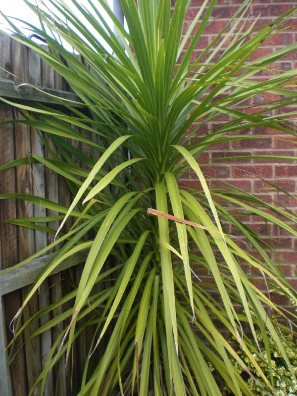 yucca plant-garden plants-palms-deco-by-the-garden