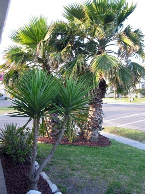 --yucca-plant-garden plants-palms-deco-by-the-garden